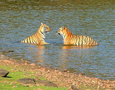 Bengal tiger, Panthera tigris tigris, Tadoba, Maharashtra, India, female, adolescent, cub, social, interaction, bathing, play
