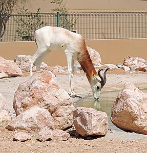 White-eared kob, (Kobus kob leucotis) drinking