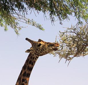 Adult Nubian giraffe eating acacia.