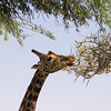 Adult Nubian giraffe eating acacia.