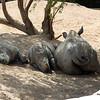 Rhino siesta