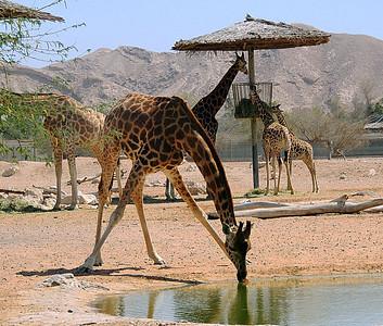 Nubian giraffe  taking a drink