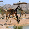Nubian giraffe  taking a drink
