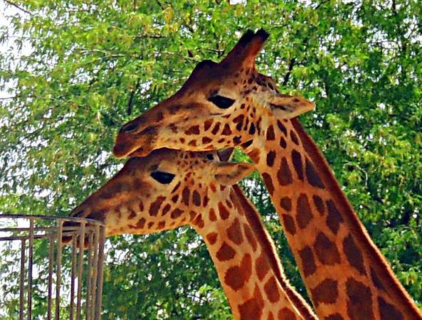 Nubian giraffe (Giraffa camelopardalis camelopardalis)