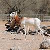 White-eared kob (Kobus kob leucotis)