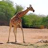 Adolescent Nubian giraffe (Giraffa camelopardalis camelopardalis)