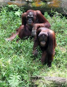 Pongo sp.; Family: Hominidae Captive specimens, Singapore Zoo
