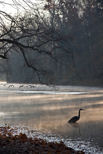 Great Blue Heron in Early Morning Mist, Tyler State Park, PA