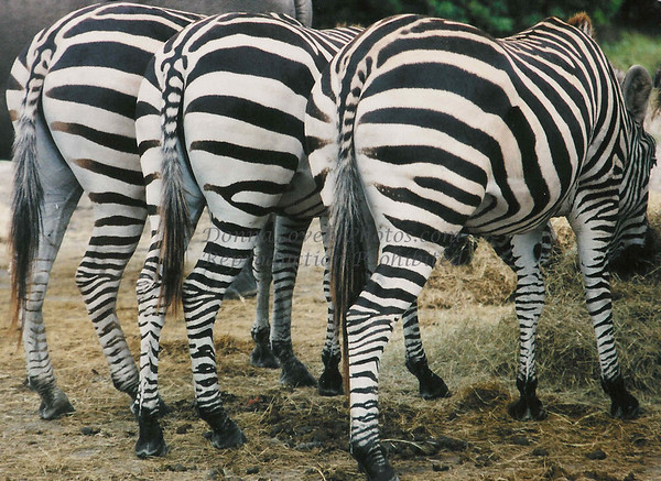 Bummed Out, Zebra Style