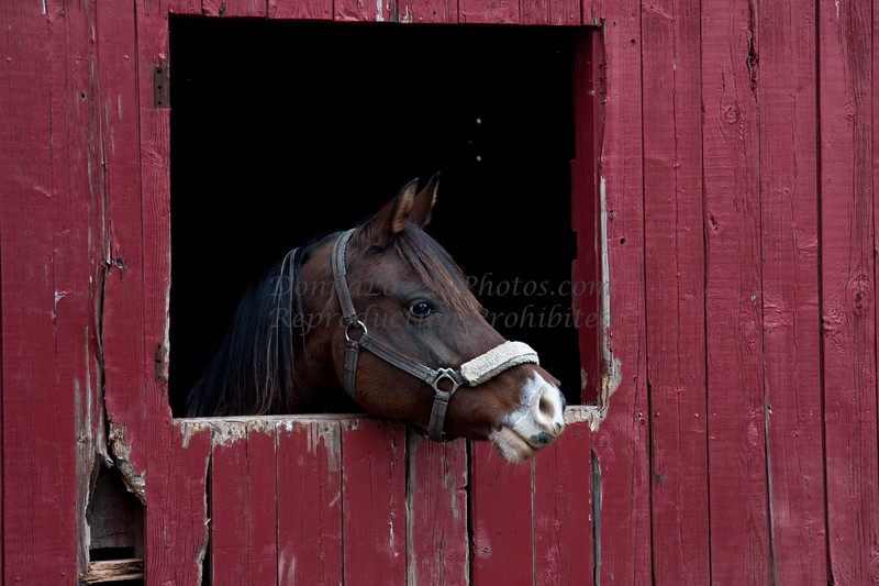 Bay Horse Looking Right in Red Barn, Washington Crossing, Bucks County, PA