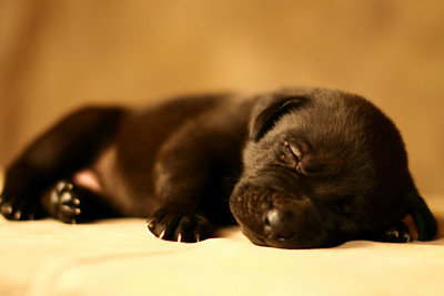 Puppy Dreams