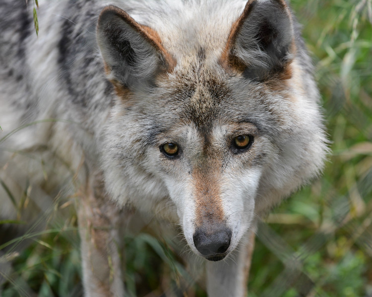 Rescued wolf at Wolf Haven