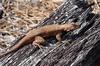 Sceloporus undulatus, Eastern Fence Lizard, male; Cumberland County, New Jersey 2015-04-21