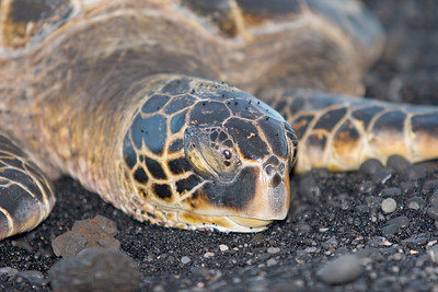 Punalu`u Black Sand Beach Park in the southeast...resting turtle