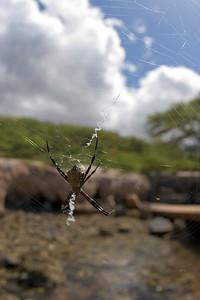 Haleolono Harbour, Spider