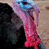 """Turkey"" (giclee print on Epson velvet fine art paper) by Noreen Larinde"