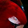 """""""Scarlet MaCaw 252"""" (digital photography) by Michael Przekop"""