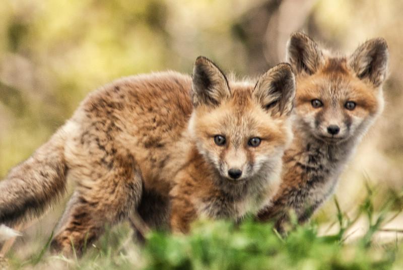 """Foxy"" (photography) by Brandon Hirt"