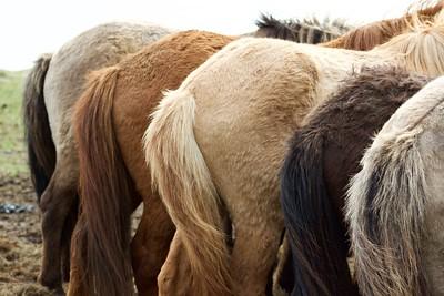 """""""Icelandic Beauties"""" (photograph) by Sierra Brown"""