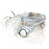 """""""Iguana"""" (watercolour on paper) by Sofiya Shukhova"""