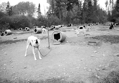 """""""Untitled 2, Sled Dog Series"""" (photography) by Iggy Beerbower"""