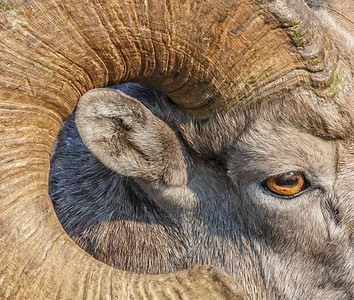 """Big Horn Sheep"" (photography) by Ronald Santini"