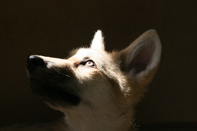 """Wolf Pup Wondering About Her Future"" (photography) by Kathy Brady"