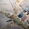 """Winter Jay"" (watercolor) by Sonja Jones"