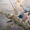 """""""Winter Jay"""" (watercolor) by Sonja Jones"""
