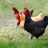 """""""Carolyn's Chickens Strutting"""" (photography) by Gina Louise Nelson"""