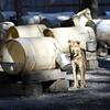 """Alaskan Sled Dog"" (photography) by Kathy Brady"