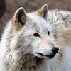 """Portrait of a Wolf"" (photography) by Kathy Brady"