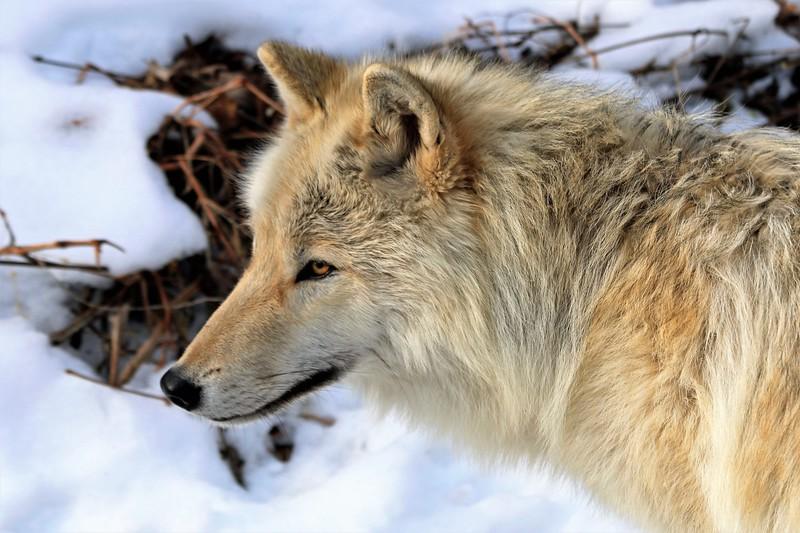 """""""Bramble Wolf"""" (photography) by Kathy Brady"""