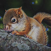 """Young Red Squirrel"" (acrylic) by Cheryl Plautz"
