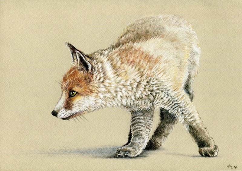 """Attentive Fox"" (colored pencil) by Angela Matuschka"