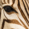 """Zebra Eye"" (photography) by Audrey Tucker"