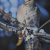 """Serene Mourning Dove"" (acrylic) by Cheryl Plautz"