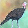 """Turkey"" (pastel) by Barbara Gulotta"