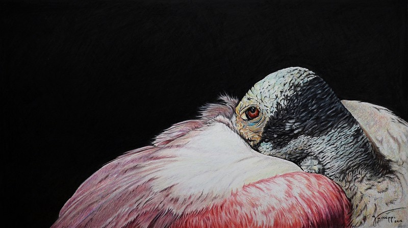 """""""Roseate Spoonbill"""" (colored pencil) by John Guiseppi"""