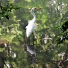 """Egret in Bronx River"" (photography) by Kathy Brady"