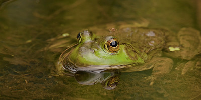 Green Frog with mosquito