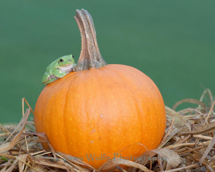 Gray Tree Frog on a Pumpkin