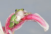 Gray Tree Frog on Lily