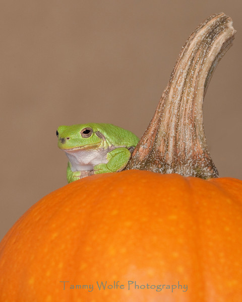 Gray Tree Frog on a Pumpkin