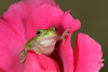 Gray Tree Frog on a Rose