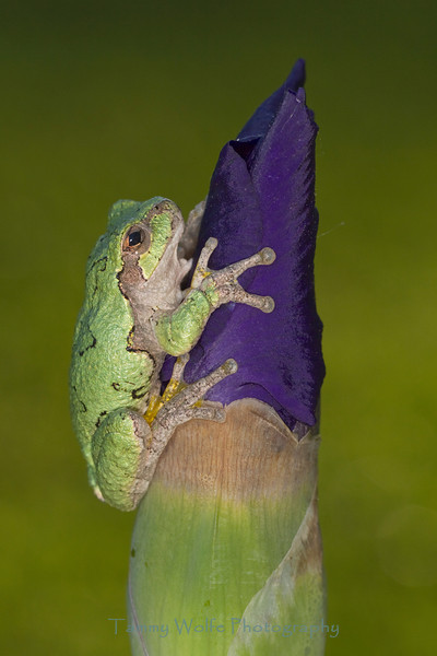 Gray Tree Frog  on Iris Bud