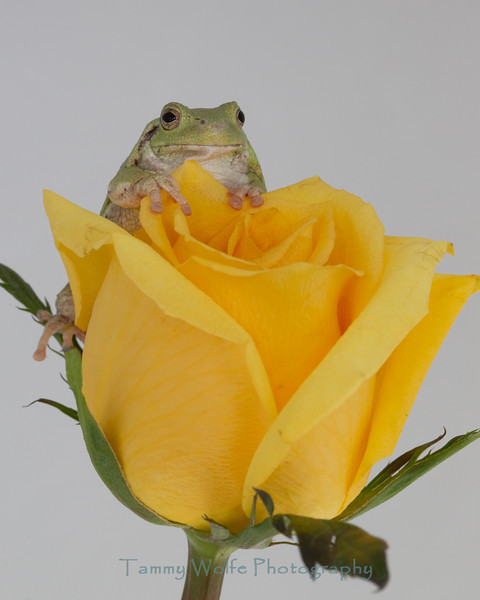 Gray Tree Frog on a Yellow Rose