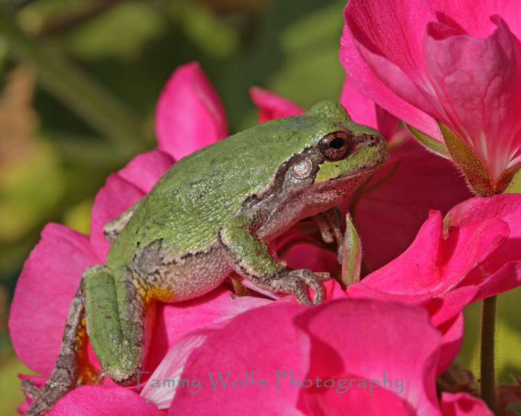 Gray Tree Frog on Bright Pink Geraniums