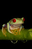 Red-Eyed Tree Frog*