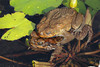 Mating Cane Toads (Bufo marinus), Kauai, Hawaii